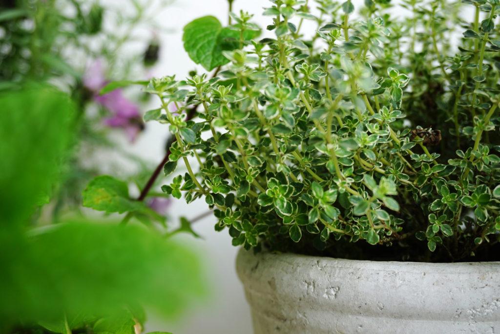 cómo cultivar tomillo en tu casa