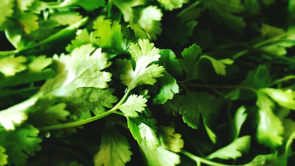 cómo cultivar cilantro en tu casa