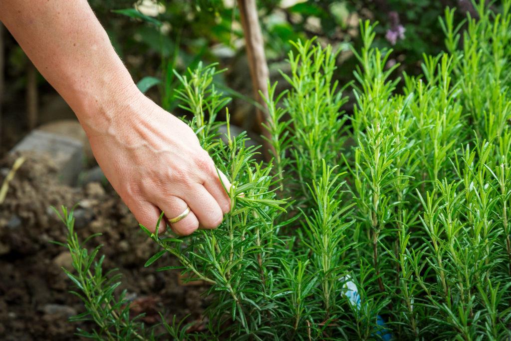 cómo cultivar romero en tu casa